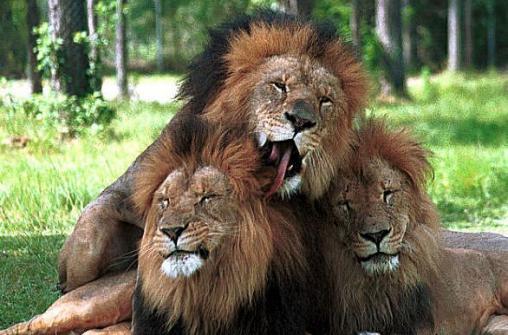 Переезд-экскурсия из Майами в Орландо с посещением cафари парка Lion Country